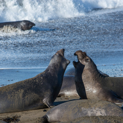 Elephant Seals © Stephanie K. Graf